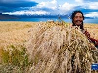 藏北高原深处的秋收