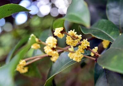 桂花与垂丝海棠同时开花
